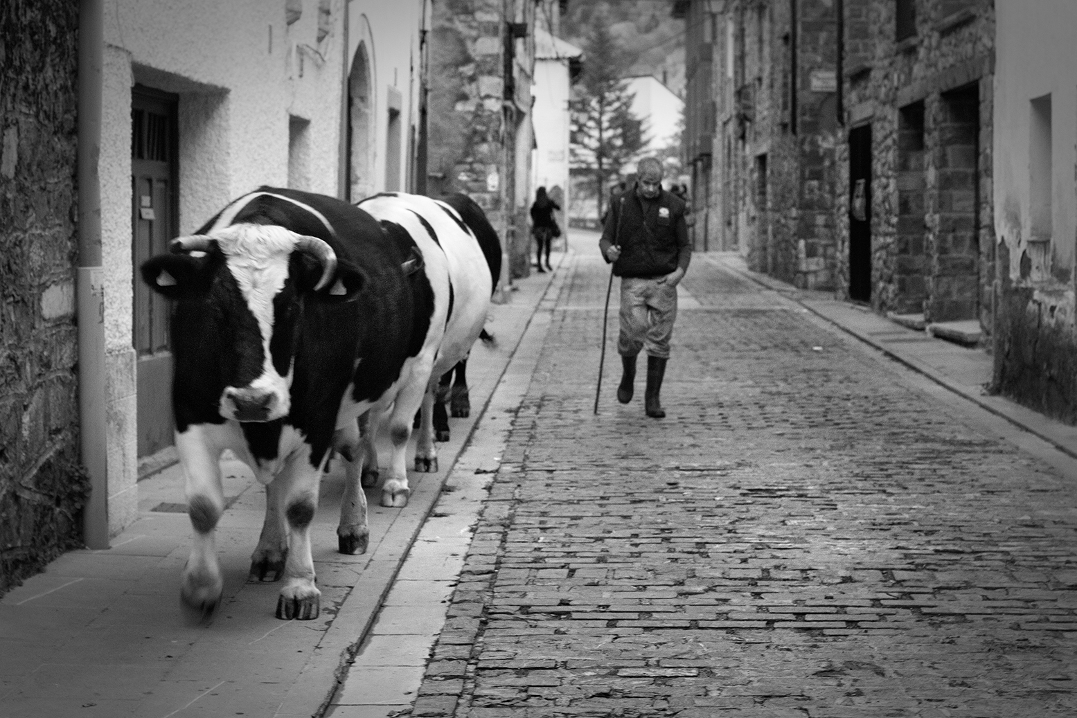 Polite cows: a herd of cows crosses the streets of Canfranc, followed by the cowherd.